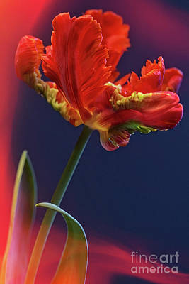 Photograph - Parrot Tulip - Feathered Petals by Heiko Koehrer-Wagner
