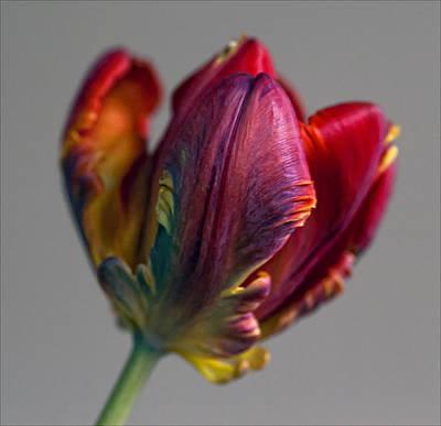 Parrot Tulips 15 Art Print by Robert Ullmann