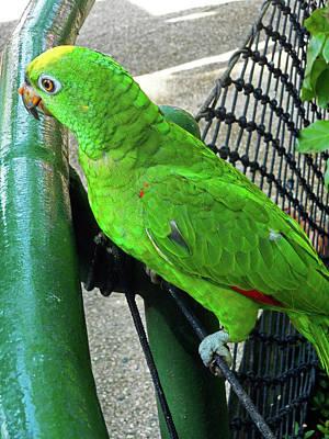 Photograph - Parrots 1 by Ron Kandt