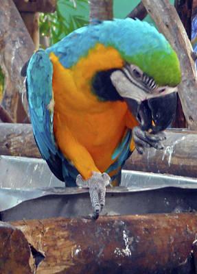 Photograph - Parrots 11 by Ron Kandt