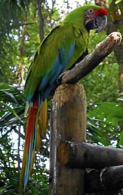 Photograph - Parrots 12 by Ron Kandt