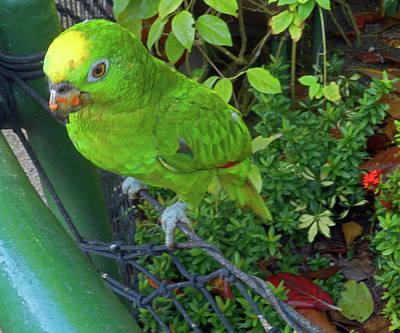 Photograph - Parrots 2 by Ron Kandt