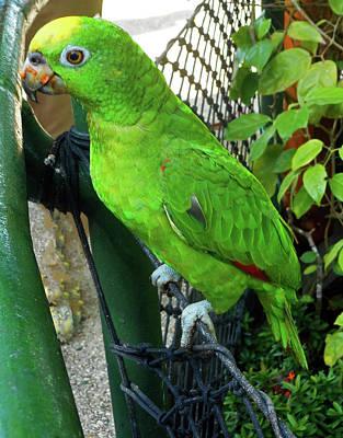 Photograph - Parrots 3 by Ron Kandt