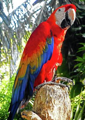 Photograph - Parrots 7 by Ron Kandt