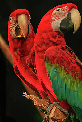 Photograph - Parrots by Jacqui Boonstra