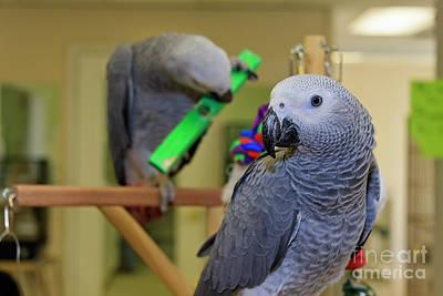 Photograph - Parrots by Jill Lang