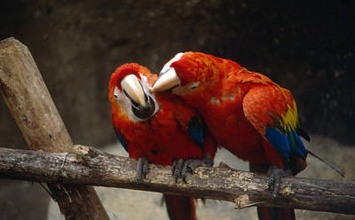 Photograph - Parrots Love by Gary Brandes
