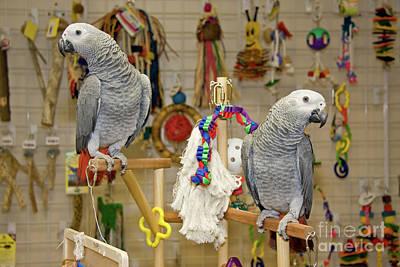 Photograph - Parrots Playing by Jill Lang
