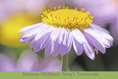 Photograph - Parry's Townsendia Montana Wildflower by Jennie Marie Schell