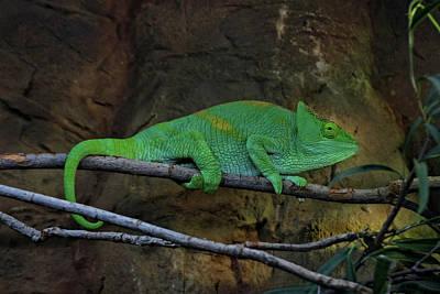 Photograph - Parson's Chameleon by Doc Braham