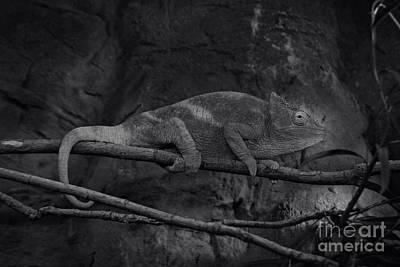 Photograph - Parson's Chameleon - Unique Prospective by Doc Braham