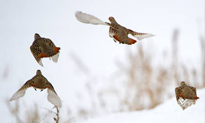 Hungarian Photograph - Partridge Flight by Mike Dawson