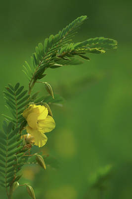 Partridge Pea - 2 - Wildflower Art Print