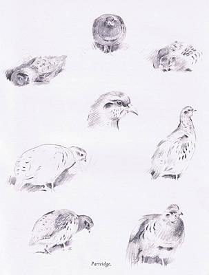 Nature Study Drawing - Partridges by Archibald Thorburn