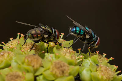 Photograph - Party Time - Flies  by Ramabhadran Thirupattur