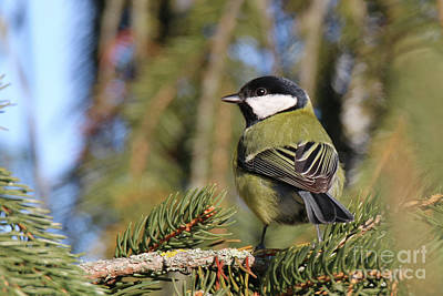 Photograph - Parus Major In Its Environment by Ludek Sagi Lukac