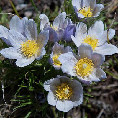 Photograph - Pasque Flower Symphony by Cascade Colors
