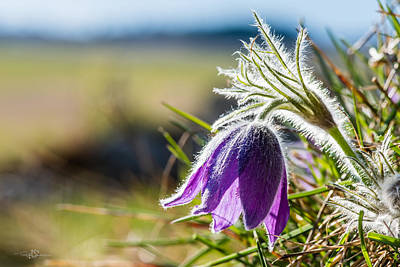 Pasque Flower Print by Torbjorn Swenelius