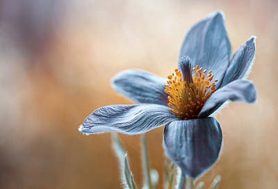 Flora Photograph - Pasque by Mandy Disher