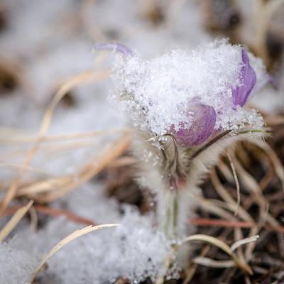 Photograph - Pasqueflower In The Snow by Dakota Light Photography By Dakota