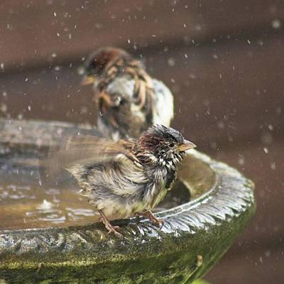Warwickshire Photograph - Pass The Towel Please: A House Sparrow by John Edwards