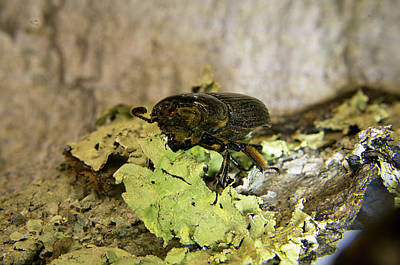 Photograph - Passalid Beetle Met Head On by Douglas Barnett