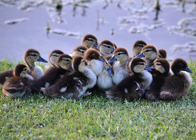 Photograph - Passel Of Baby Ducks by rd Erickson