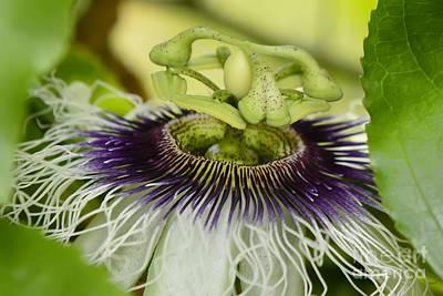 Photograph - Passiflora Edulis Frederick Flower  by Olga Hamilton