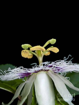 Passiflora Edulis Photograph - Passiflora Edulis by Sarun T