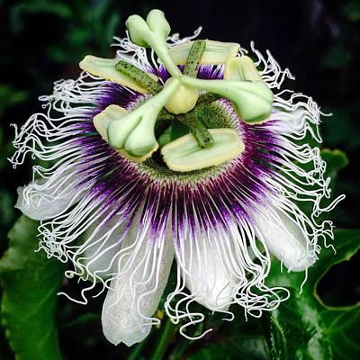 Passiflora Edulis Photograph - Passiflora by Eric Suchman