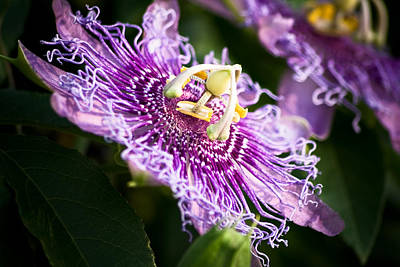 Photograph - Passiflora by Mike McMurray