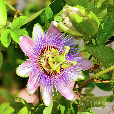 Photograph - Passiflora by Olga Hamilton