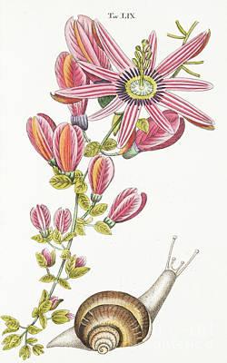 Passiflora Princeps Art Print