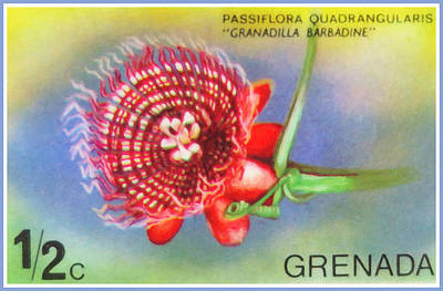Passiflora Quadrangularis Art Print