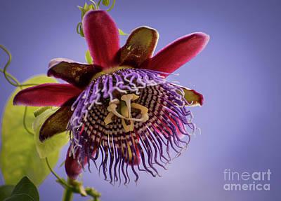 Passion Flower Photograph - Passiflora Quadrangularis by Zina Stromberg