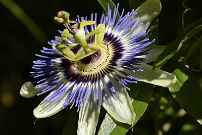 Photograph - Passion Flower 1 by Nadalyn Larsen