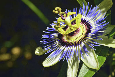 Photograph - Passion Flower 1 With Detail by Nadalyn Larsen