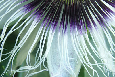 Photograph - Passion Flower 3 - Passiflora Edulis Var. Flavicarpa by Elena Schaelike