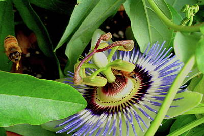 Photograph - Passion Flower by Allen Nice-Webb