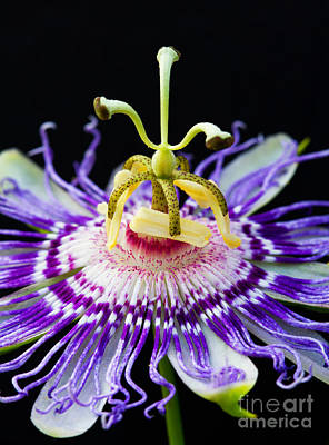 Passion Flower Art Print by Dawna  Moore Photography