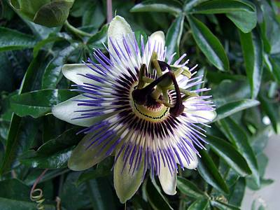 Photograph - Passion Flower by George Cousins