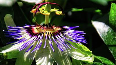 Photograph - Passion Flower In The Sunlight by Katie Wing Vigil