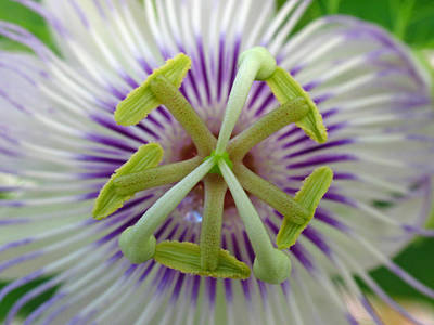 Passion Flower Art Print by Juergen Roth