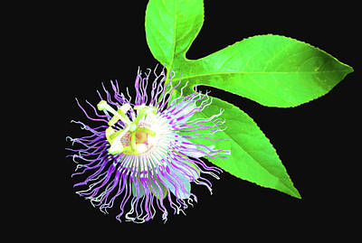 Photograph - Passion Flower by Kristin Elmquist