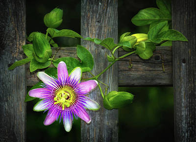 Photograph - Passion Flower On The Fence by Carolyn Derstine
