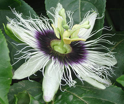 Photograph - Passion Flower  - Passiflora Edulis Var. Flavicarpa by Elena Schaelike