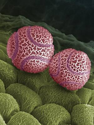 Passiflora Photograph - Passion Flower Pollen Sem by Steve Gschmeissner