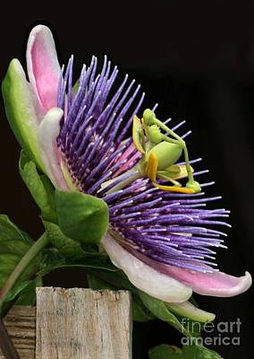 Photograph - Passion Flower by Sabrina L Ryan