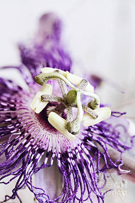 Passion Flower Art Print by Stephanie Frey
