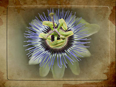 The Who - Passion Flower by Yuri Lev